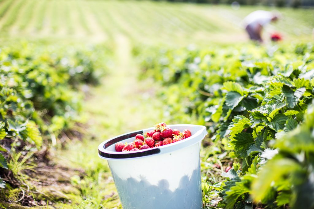 Strawberries. Photo: Linnéa Isaksson